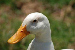 681309_evil_ducks